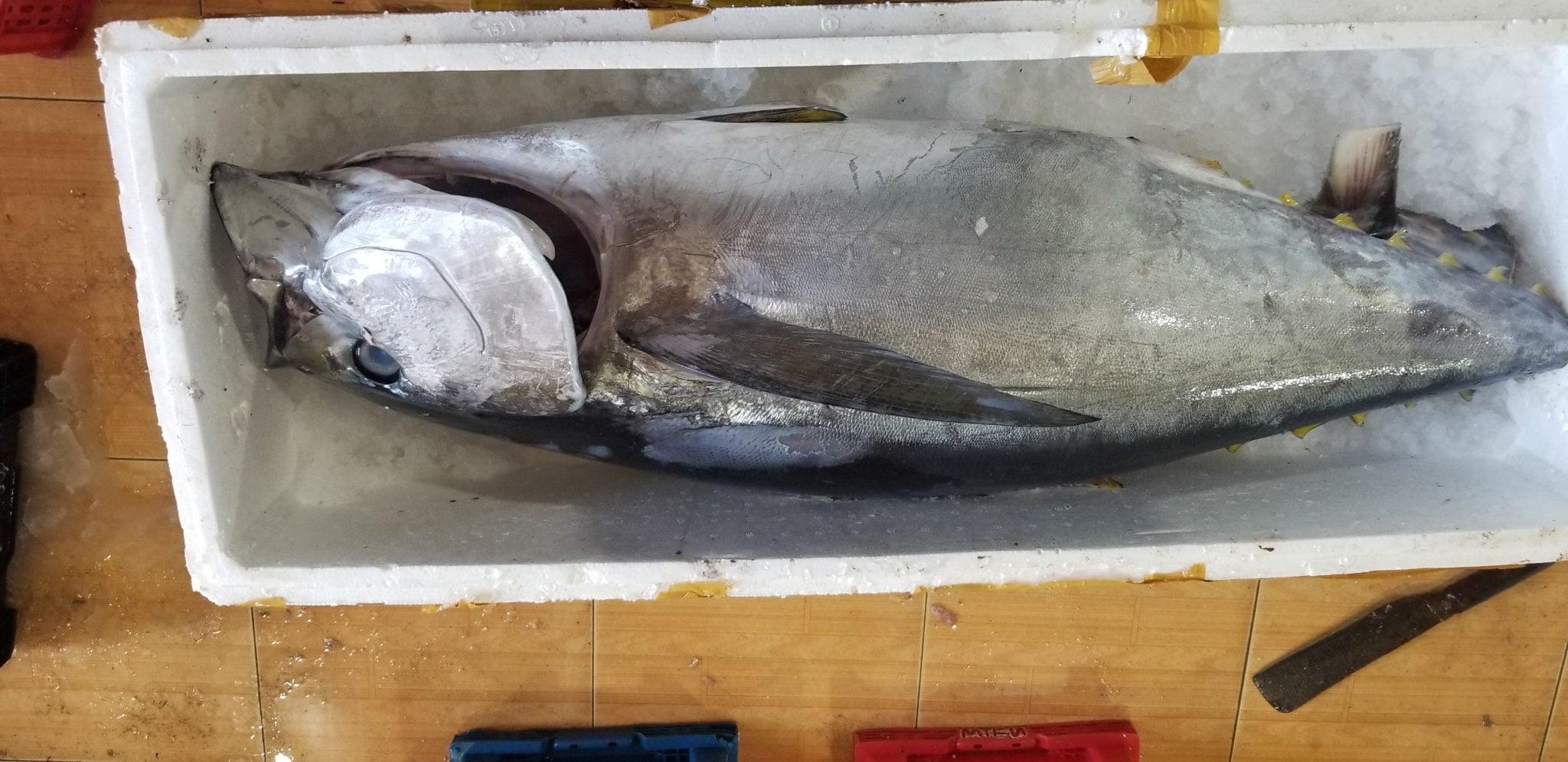 Hình ảnh cá ngừ đại dương nguyên con