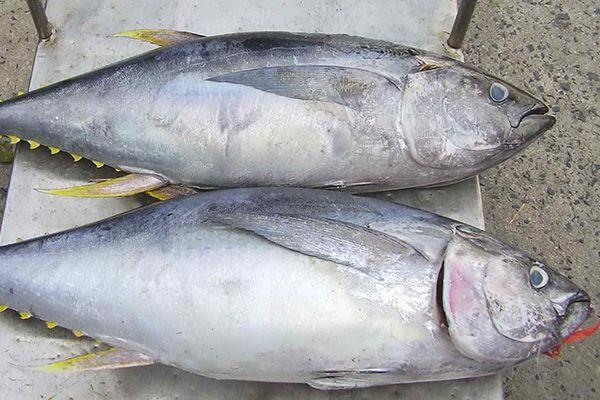 Hình minh họa cá ngừ đại dương