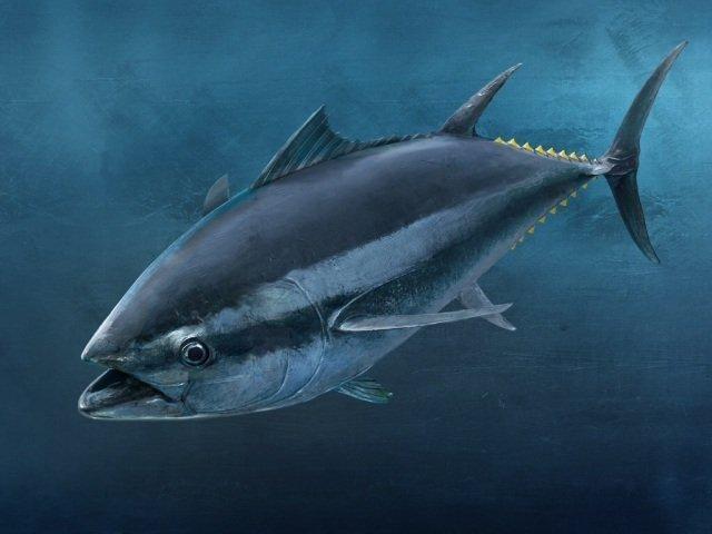 Cá ngừ đại dương cao cấp